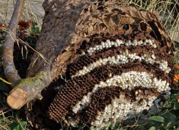 Destruction de nid de frelons asiatiques à mazingarbe
